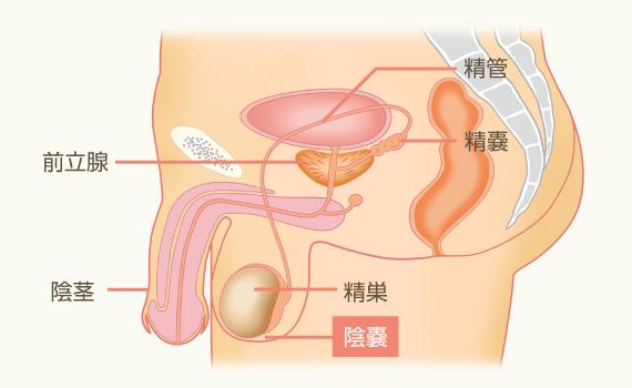 陰嚢|女性のカラダ・男性のカラ...